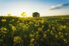 Vårsolnedgången våldtar in fältet och det ensamma trädet Royaltyfria Bilder