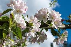 Vårtid - blomningäppleträd Arkivfoto