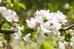 Vårtid - blomningäppleträd Arkivfoton