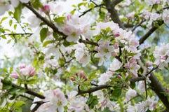Vårtid - blomningäppleträd Arkivbild