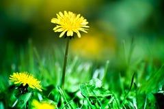 Vårtid, djur, natur väcker, fåglar är sjungande, blommor startar att blomma Makroskott av den ljust gula dandelioen Royaltyfri Fotografi