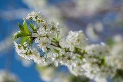 Vårtider - körsbärsrött träd för blomning royaltyfri foto