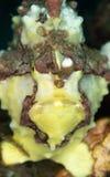 Vårtig frogfish, Antennarius maculatus Lembeh norr Sulawesi royaltyfria bilder