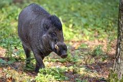 Vårtigt svin för Visayan i skogen arkivbild