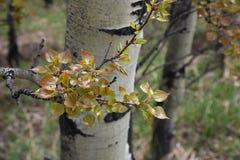 Vårtillväxt på en asp Arkivbilder
