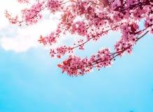 Vårträd med den rosa blommamandelblomningen på en filial på grön bakgrund, på blå himmel med dagligt ljus royaltyfria foton