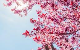 Vårträd med den rosa blommamandelblomningen på en filial på grön bakgrund, på blå himmel med dagligt ljus royaltyfri fotografi