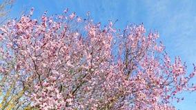 Vårträd med den rosa blommamandelblomningen på filial med rörelse på vind, på blå himmel med dagligt ljus lager videofilmer