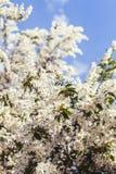 Vårträd med vita blommor Fotografering för Bildbyråer