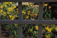 Vårträdgård--Gula Tulip Window Panes royaltyfri foto