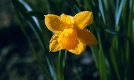 Vårträdgårdguling Narcissus Flower Rain Drops Arkivbild