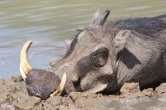 Vårtsvin - afrikanskt djurliv - Potrait av en sova galt arkivbild