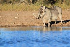 Vårtsvin - afrikanskt djurliv - stående av blått Fotografering för Bildbyråer