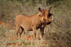 Vårtsvin i den naturliga livsmiljön - Sydafrika royaltyfri foto