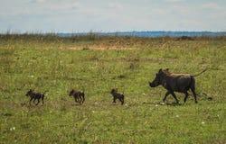 Vårtsvin i masaien Mara Nature Reserve i Kenya Arkivfoto