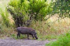 Vårtsvin i Tarangiren tanzania Arkivfoton