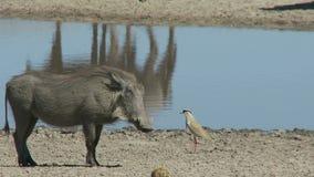 Vårtsvin och fågel