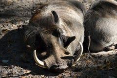 Vårtsvin på den djura reserven Royaltyfria Bilder