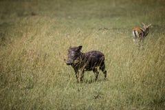 Vårtsvin på savannet Royaltyfri Foto