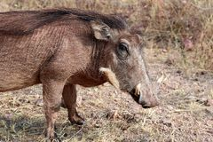 Vårtsvin som söker efter mat i savannahen - Namibia Afrika royaltyfri foto