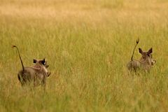 Vårtsvin Zimbabwe, Hwange nationalpark Arkivbild