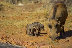 Vårtsvinet behandla som ett barn att gå omkring arkivbild