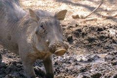 Vårtsvinet gräver jorden i savannahen Fotografering för Bildbyråer