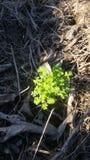 Vårväxt av släktet Trifoliumgroddar till och med komposttäckningen arkivbilder