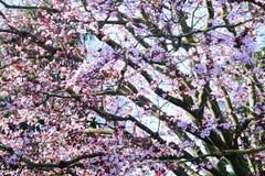 Vårvår Cherry Blossoms Royaltyfri Foto