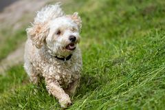Våt blandad avelhund arkivfoton