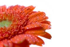 våt blomma Royaltyfria Bilder