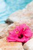 våt blommahibiskus Royaltyfri Fotografi