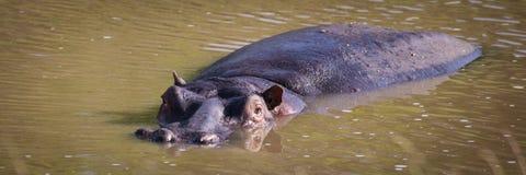 Våt flodhäst arkivfoto