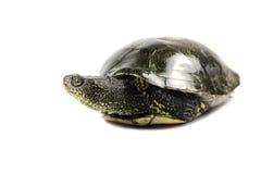 Våt-gå i ax sköldpadda Royaltyfria Bilder