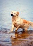 Våt golden retrieverhund i sjön Royaltyfria Foton