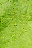 våt grön leaf Royaltyfri Bild
