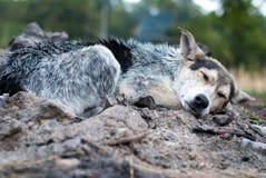 Våt hund Royaltyfri Bild