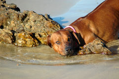 våt hund Arkivbild