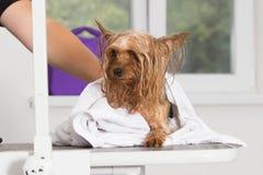 Våt hund i en handduk Royaltyfria Bilder