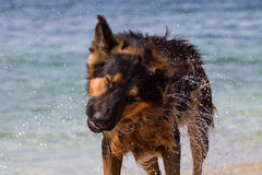 Våt hund i havet royaltyfri bild