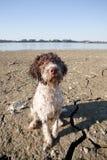 Våt hund på en strand Arkivbilder