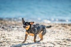Våt hund som skakar av vatten royaltyfri foto