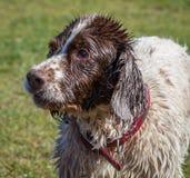 Våt hund som tycker om en gå i solen Arkivfoton