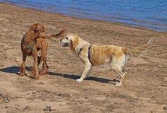 Våt hundkapplöpning som hälsar sig i en vänskapsmatch och ett skämtsamt sätt Arkivbilder