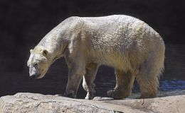 Våt isbjörn som går på naturliga stenblock royaltyfri foto