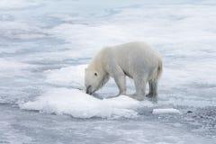Våt isbjörn som går på packeis i det arktiska havet arkivfoton