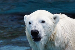 Våt isbjörncloseup Arkivbilder