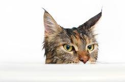 Våt katt i badet arkivbild