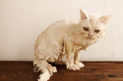 Våt kattunge Royaltyfri Bild