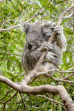 Våt koala i en eukalyptusträd Arkivfoton